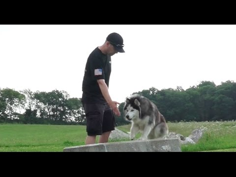 dog-training:-18-month-old-siberian-husky,-saber!-before/after-2-week-board-and-train!