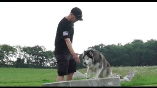 Dog Training: 18 Month Old Siberian Husky, Saber! Before/After 2 Week Board and Train!