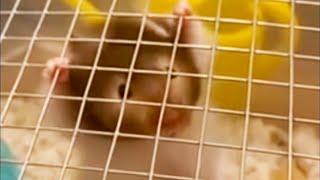 Hamster Hangs on for Dear Life