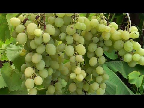Вопрос: Чем в августе подкормить виноград?
