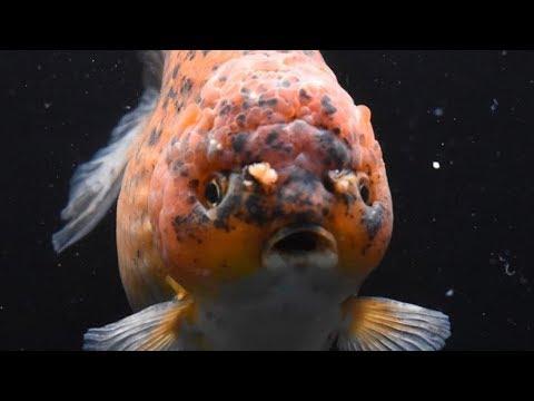 10  Mistakes That Harm Goldfish