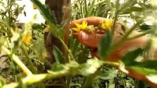 Как пасынковать низкорослые помидоры. Часть1(В этом видео мы показываем как мы формируем низкорослые помидоры. Нижние пасынки мы не удаляли, а прищипыва..., 2016-07-03T18:38:07.000Z)