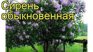 Сирень обыкновенная. Краткий обзор, описание характеристик syringa vulgaris