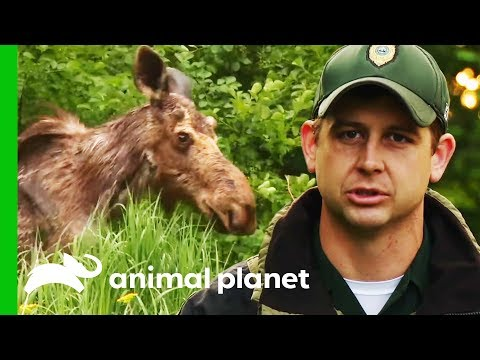 Is This Moose Infected With A Deadly Brain Parasite? | North Woods Law