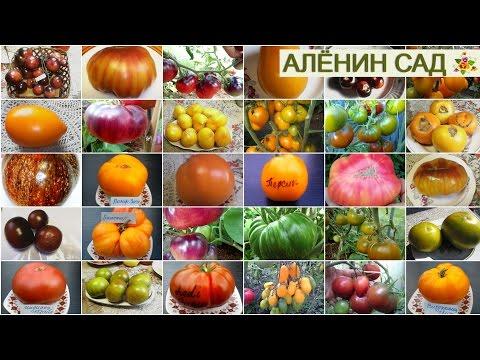 САМЫЕ УРОЖАЙНЫЕ И ВКУСНЫЕ СОРТА ТОМАТОВ по мнению коллекционера Людмилы Кодзасовой | помидоров | томатов | теплица | помидор | выбрать | томаты | теплиц | лучшие | сорта | какие