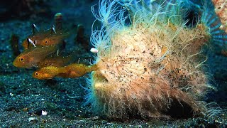 This Hairy Frogfishs Bite is Too Fast For Slow-Motion