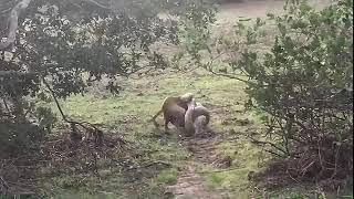 Питон напал на собаку