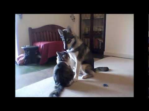 Tamaskan dog playing with cat.