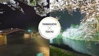 Cherry - YAMAGUCHI