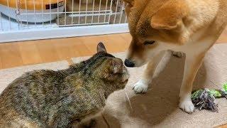 甘えてくる猫の接し方がわからない柴犬  roll over to her side
