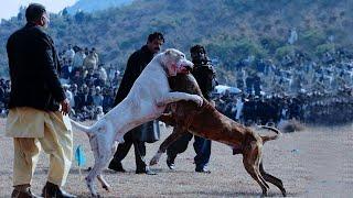 Dogo Argentinoは、アルゼンチンのMastiffとしても知られています。大型...