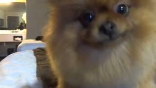 Baa Baa The Pomeranian