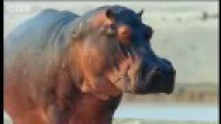 Hippos assert control - BBC wildlife