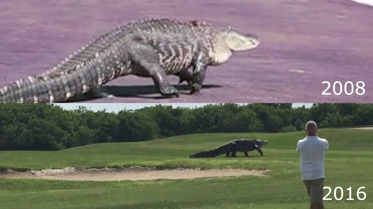 Giant Alligator Florida Golf Course 2016 And 2008 Comparison Youtube