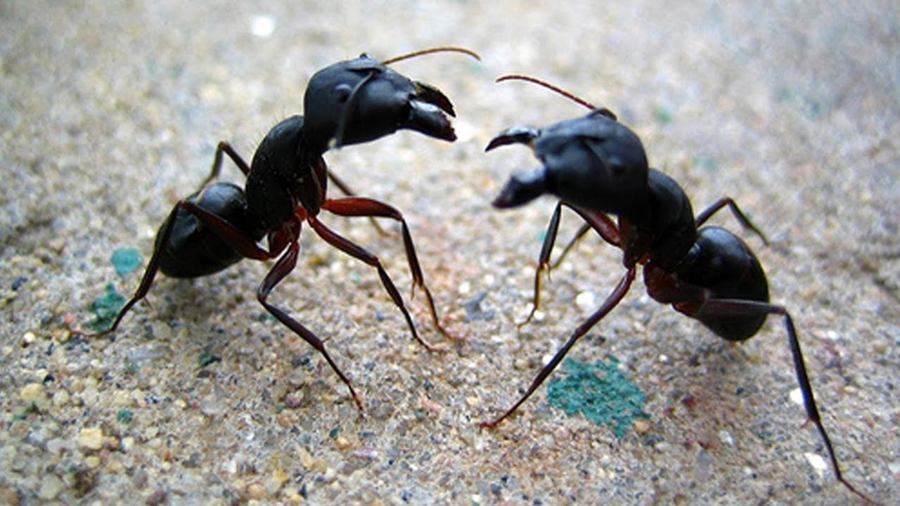 karıncalar ile ilgili görsel sonucu