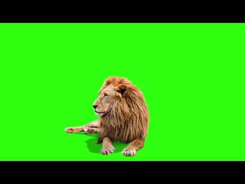 Футаж в хромакее лев лежит
