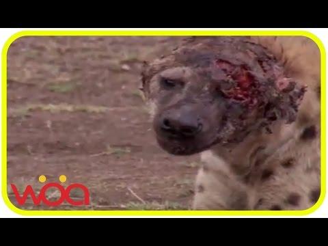 videos animal attacks   videos animal abuse   videos animal adaptations   animal videos amazing