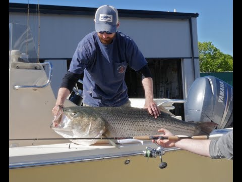 64-pound Striped Bass Weigh In at Falmouth Bait & Tackle