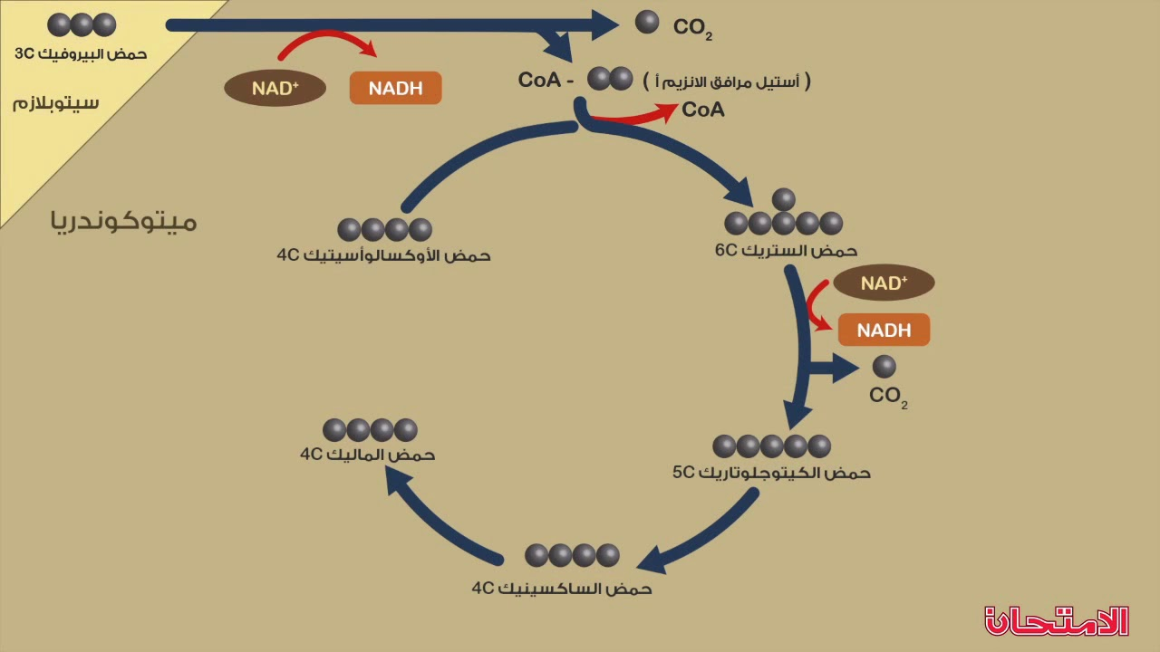 دورة كربس