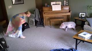 Hamlet the Mini Pig: Crazy Pig and the Blanket