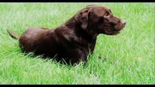 ✇ Dogs - Chocolate Labs - Labrador Retriever - Funny Dog In Grass