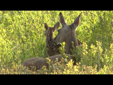 a fawn VS a coyote : Learn Young or Die