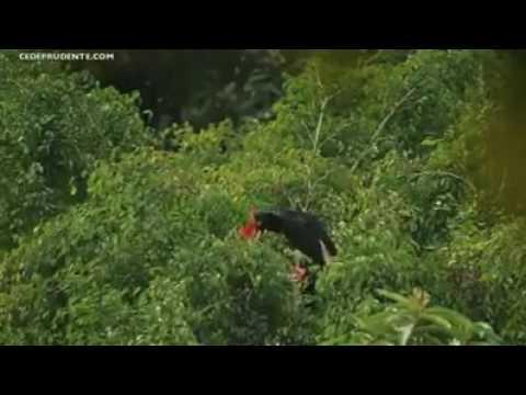 Burung khas suku Kalimantan yg hampir punah