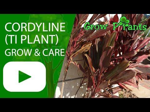 Cordyline - grow & care (Ti Plant)