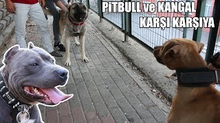 PİTBULL ve KANGAL KARŞI KARŞIYA (Pitbull, Kangal ve Alman Kurdu Efsane Köpek ırkları) Strongest Dogs