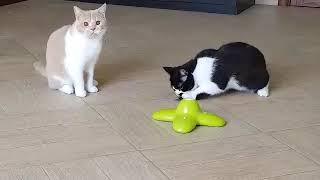 Британские котята мальчики