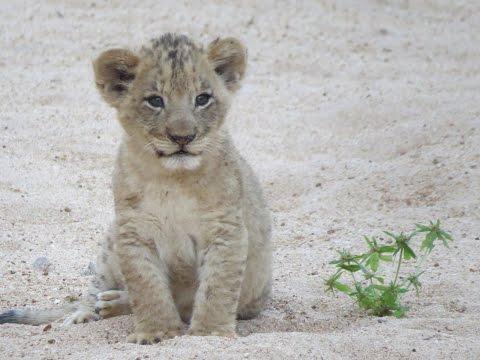 Entertaining Lion Cub