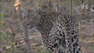 Safari Live : Queen Karula as seen on drive this afternoon Oct 21, 2016
