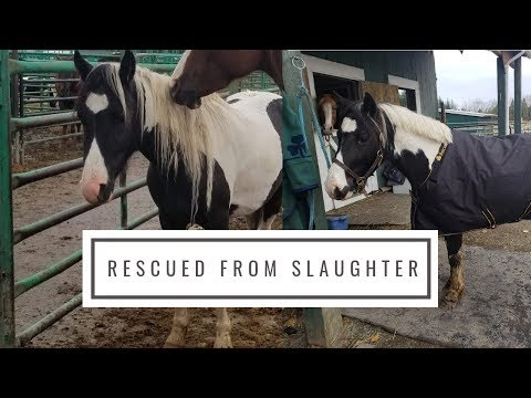 Slaughter Rescue Pony's 2 Month Transformation