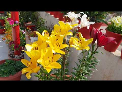 Care Of Asiatic Lily (English) || How To Grow And Care Asiatic Lily Plant