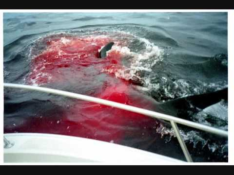 killer whale attacks a great white shark and kills it ...