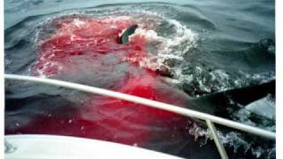 killer whale attacks a great white shark and kills it
