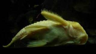Pleco - L56Y (yellow rubber) become golden color completely