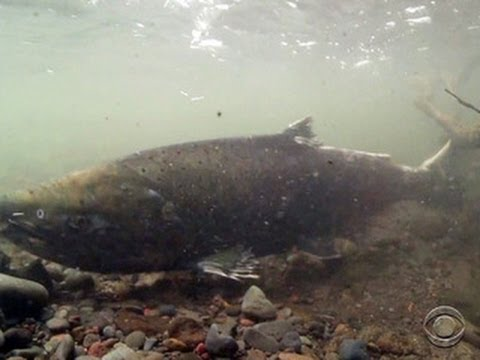 Report: Nearly half of California salmon species on track for extinction