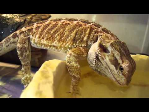 Female Bearded Dragon Drinks - YouTube Full Grown Bearded Dragon Next To A Ruler