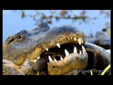 titanoboa vs anaconda size wwwpixsharkcom images