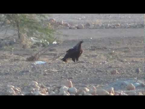 Eastern imperial eagle part 3/4 Salalah farms Oman 03/01/2012