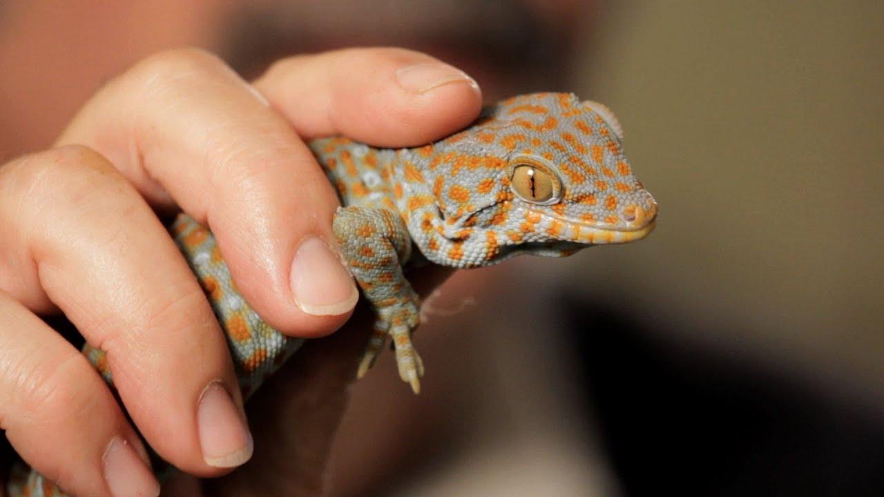 5 Care Tips For Tokay Geckos Pet Reptiles Youtube