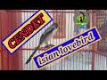 Masteran Cendet Isian Lovebird Pancingan Cendet Macet Bunyi  Mp3 - Mp4 Download