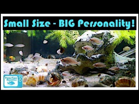 Great Cichlids For Small Aquariums