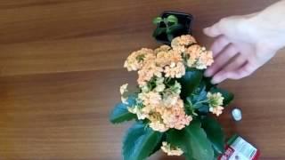 видео Комнатный цветок каланхоэ и уход за ним в домашних условиях