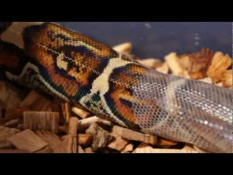 Red Tail Boa Constrictor Shedding.