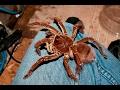 Biggest Spider