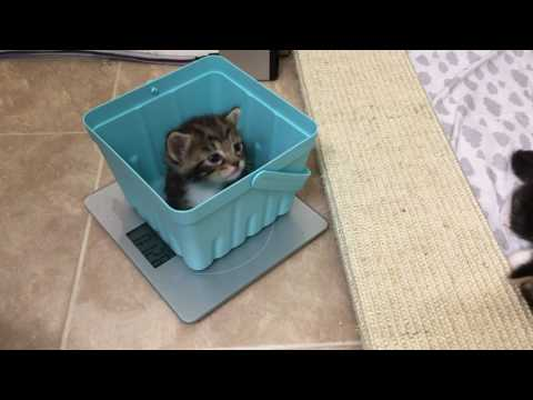 Weighing 2 1/2 Week Old Foster Kittens