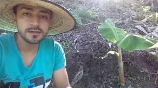 control biológico del gusano picudo en los cultivos de plátano