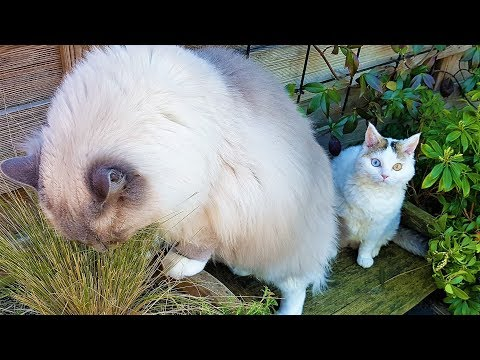 Life is Sweet in the Backyard | Bowie The Ragdoll Cat & Bella The Lambkin Kitten